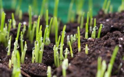 Phosphorus mobilizing consortium Mammoth P™ enhances plant growth